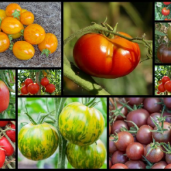 PACK 10x Plants Tomates BIO...