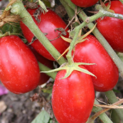 "Plant Tomate BIO ""Roma"" -..."