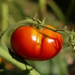 """Plant Tomate BIO """"Reine des..."""