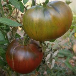 """Plant Tomate BIO """"Noire de..."""