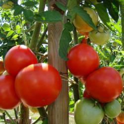 Plant Tomate BIO...
