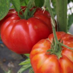 "Plant Tomate BIO ""Marmande""..."
